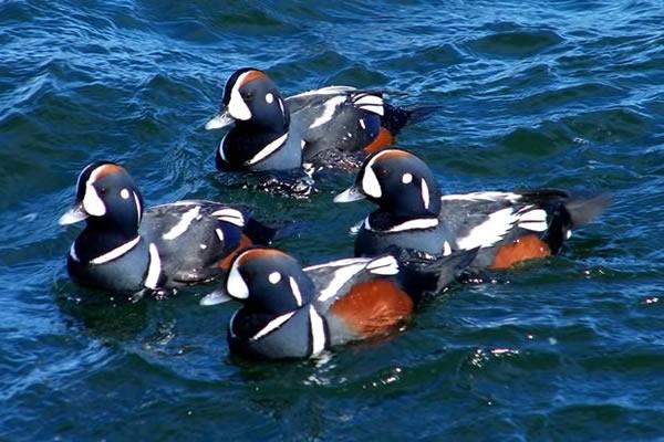 Harlequin Duck - Sea Duck Joint Venture - photo#4