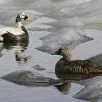 SPEI pair on ice. Photo by Ted Swem