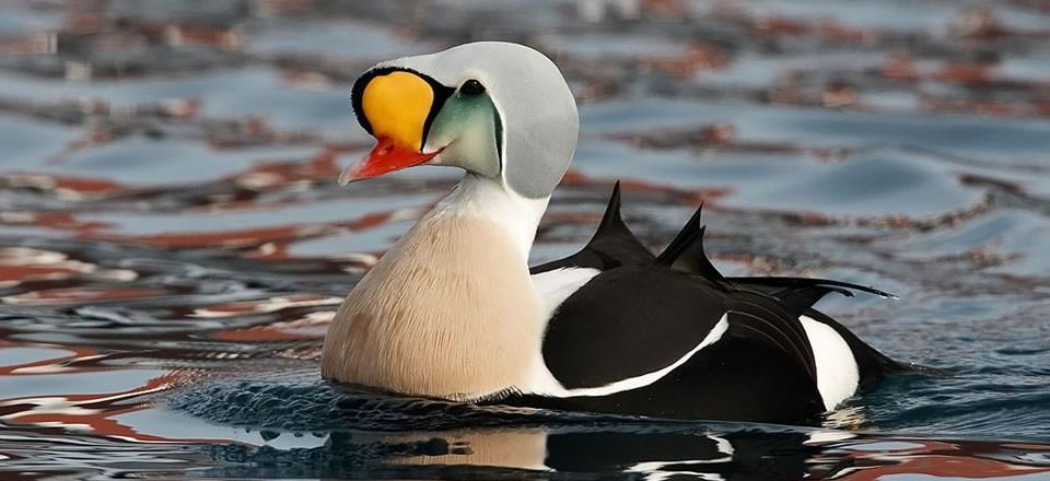 pics photos duck - photo #36