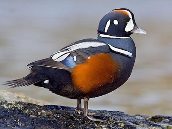 Harlequin Duck - Sea Duck Joint Venture - photo#22